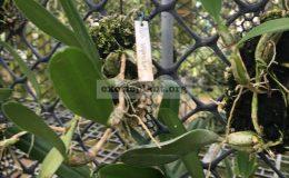 138-Bulbophyllum-vaginatum-