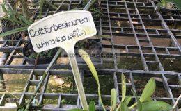145-Cattleya-forbesii-aurea-