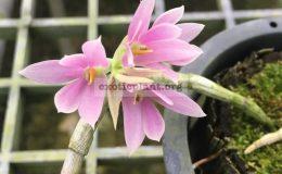 208-Dendrobium-bracteosum