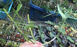 211-Dendrobium-capituliflorum-