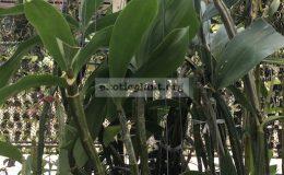 231-Dendrobium-densiflorum