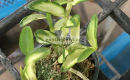 269.1-Dendrobium-loddigesii-variegated-BS-60