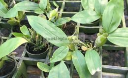 295-Dendrobium-sulcatum