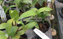 297-Dendrobium-tetragonum