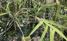 323-Epidendrum-centradenia-