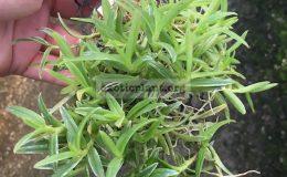 324-Epidendrum-porpax