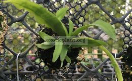 336-Gastrochilus-bigibbus