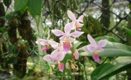 456-Phalaenopsis-equestris-BS-30