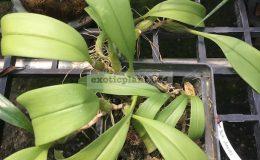63-Bulbophyllum-dearei-