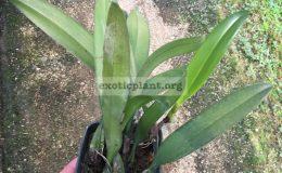 67-Bulbophyllum-Elizabeth-Ann