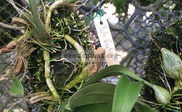 69-Bulbophyllum-facetum-