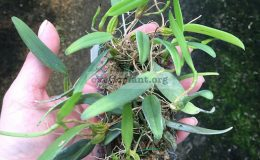 80-Bulbophyllum-lasiochilum-Burma