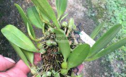86-Bulbophyllum-lepidum-'-Philippines'