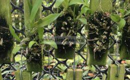 92-Bulbophyllum-maquilingense-