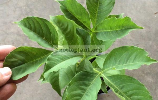 Adansonia-sp.T01-25