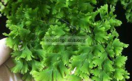 Adiantum-tenerum-cv-Gloriosum-Roseum-35