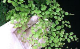 Adiantum-tenerum-cv-Red-Crown-35
