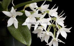 Aerangis-articulata