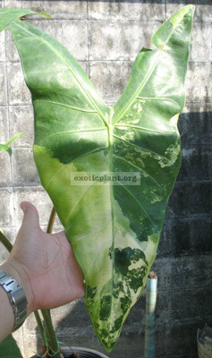 Alocasia-cobra-variegata-small-size