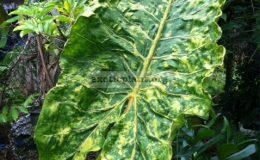 Alocasia-macrorhiza-Seven-Colors-30-к-продаже-растение-меньше-чем-на-фото
