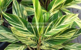 Alpinia-zerumbet-variegated-20