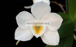 Amesiella-philippinensis