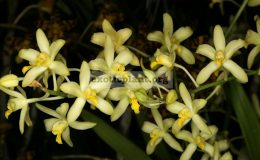 Anesellia-africana