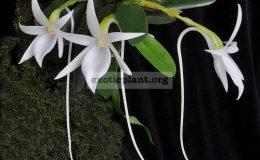 Angreacum-scottianum
