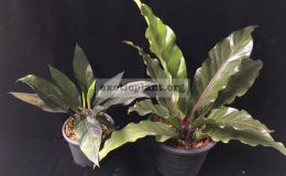 Anthurium-Black-Dragon-right-and-Anthurium-Black-Dragon-compact-formleft-