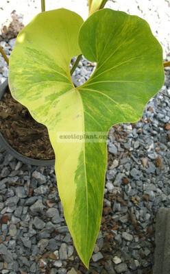 Anthurium-Corong-variegated-120-180-