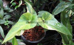 Anthurium-Corong-variegated