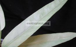Anthurium-Silver-Arrow-1200