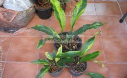 Anthurium-Wave-of-Love-golden-variegated-40-75