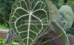 Anthurium-clarinervium-30