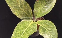 Anthurium-hookeri-F1-variegated-March2018A-35