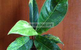 Anthurium-hookeri-F1-variegatedT01