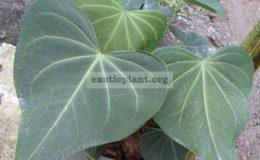 Anthurium-leuconeurum