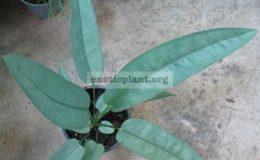 Anthurium-sp.T02-44