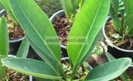 Anthurium-willdenowii-exotic-plant-20