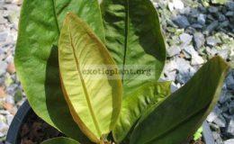 Anthurium-willfordii-140