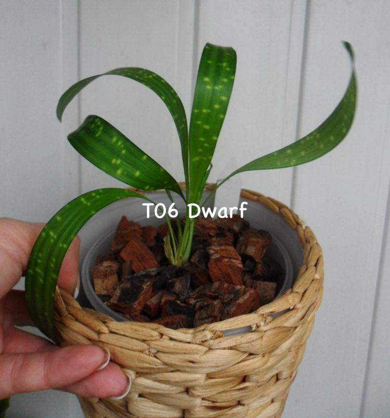 Aspidistra sp.(T06) Dwarf / аспидистра сп (Т06) Дворф, карликовая разновидность17