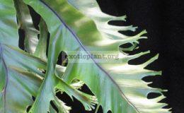 Asplenium-nidus-CrestedT02-Philippine-40