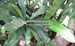 Asplenium-nidus-Papua-New-Guinea