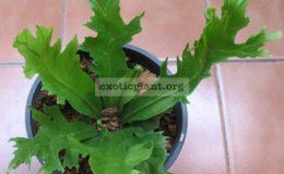 Asplenium-nidus-cv.-Cresteatum-S