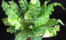 Asplenium-nidus-cv.-Crispafolium-compact-