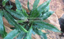 Asplenium-sp.black-leaf