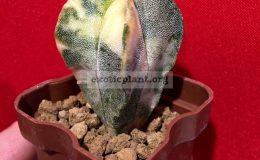 Astrophytum-myriostigma-variegated-type3-45