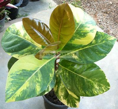 Barringtonia asiatica variegated / Баррингтония азиатика вариегатная 60