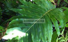 Blechnum-Rassamichotiigibbum-x-braziliense-40