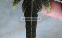 Bolbitis-sp.T01fertile-leaf-